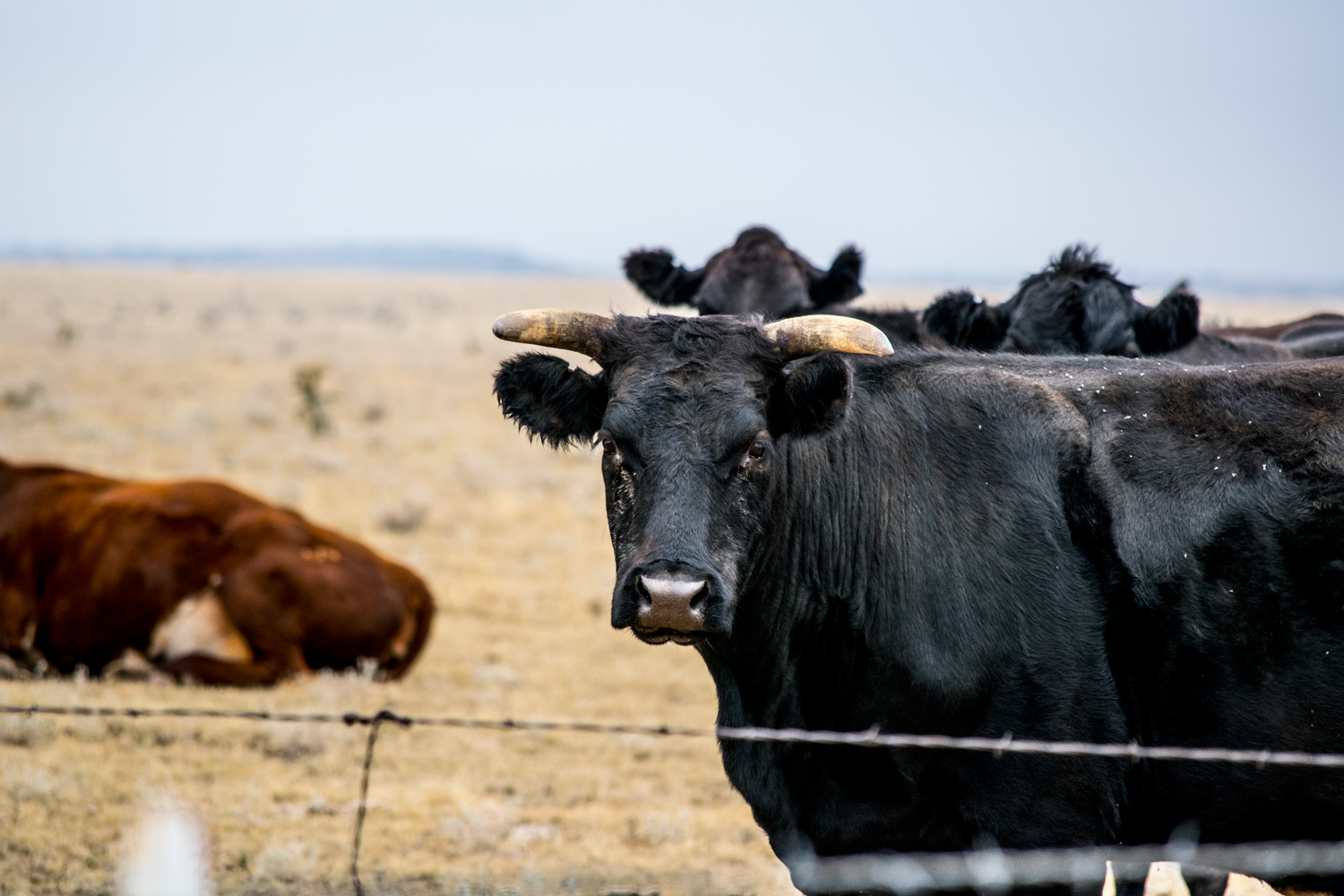cow_nm_100315_0098