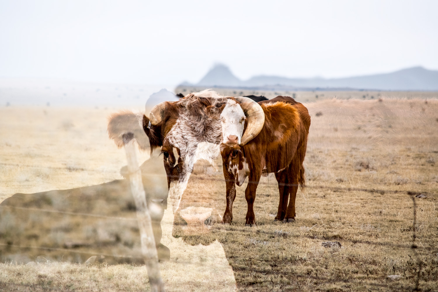 cow_nm_100315_0118